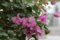 Plant Of Week: Great Bougainvillea - Entertainment & Life